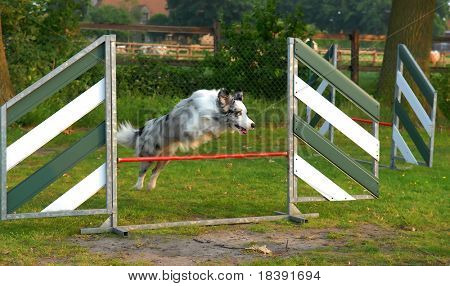 border collie jumping over fence at agility training for dogs