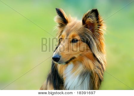 portrait of a cute brown lassie dog with green grass background
