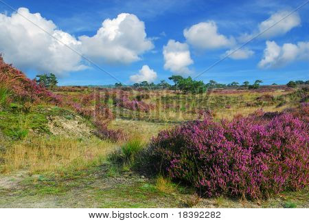 heather field in kalmthout, belgium on sunny autumn day