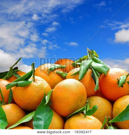 harvest of fresh orange tangerines with blue sky background