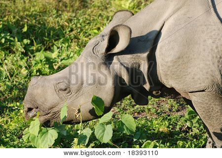 Cabeça de rinoceronte negro em Chitwan N.P. Nepal