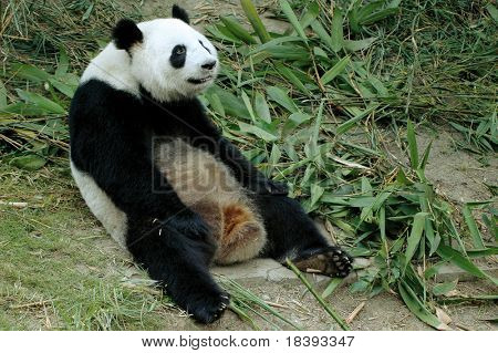 cute lazy giant panda in the chengdu zoo