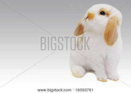Cute white baby lop ear rabbit on grey background