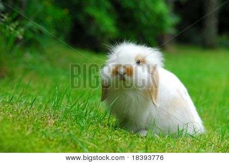 Cute white baby lop ear rabbit enjoying his freedom in the garden