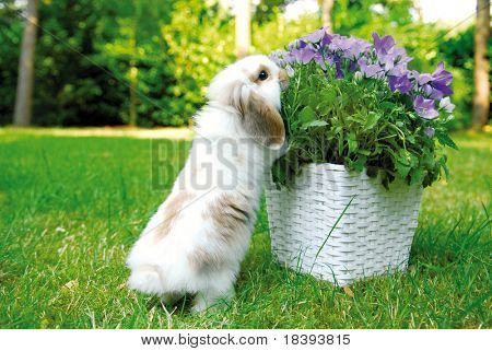 Cute white baby lop ear rabbit enjoying his freedom in the garden and taking a bite from the flowers
