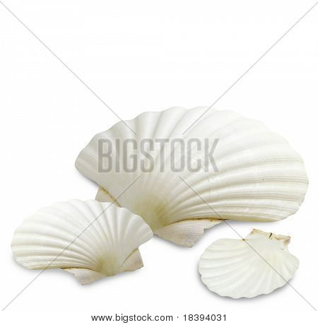 White sea shells isolated on white background