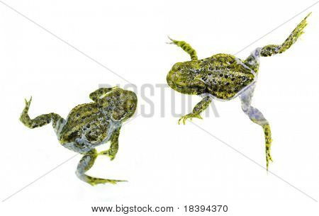 Two green frogs or toads swimming around isolated on white background
