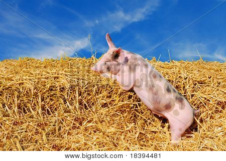 Cute young spotted pig in straw paddock with blue sky background