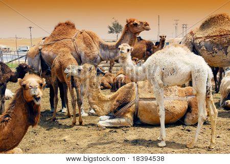 Camellos en un mercado en Jordania