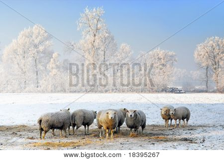 Dutch winter landscape with sheep, white frozen trees and clear blue sky
