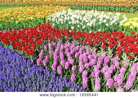 Colorful flowerbeds with tulips, grape hyacinths, hyacinths and daffodils in spring garden 'Keukenhof' in Holland