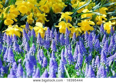 Yellow daffodils and blue grape hyacinths in spring garden 'Keukenhof', Holland