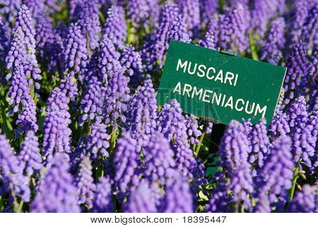 Blue grape hyacinth with latin name sign 'muscari armeniacum' in spring garden 'Keukenhof', Holland
