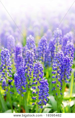Blue grape hyacinths with soft focus and shallow dof in spring garden 'Keukenhof', Holland