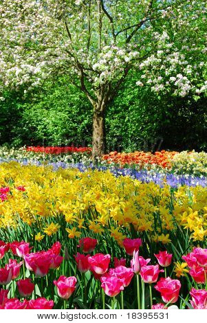 Colorful springflowers and blossom in dutch spring garden 'Keukenhof' in Holland