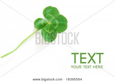 Fresh wild lucky clover isolated on white background - symbol of holiday St. Patrick's Day
