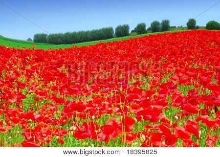 poppy field on hills in holland