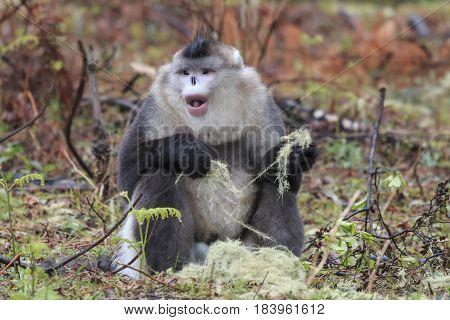 Yunnan Black Snubnosed Monkey rhinopithecus