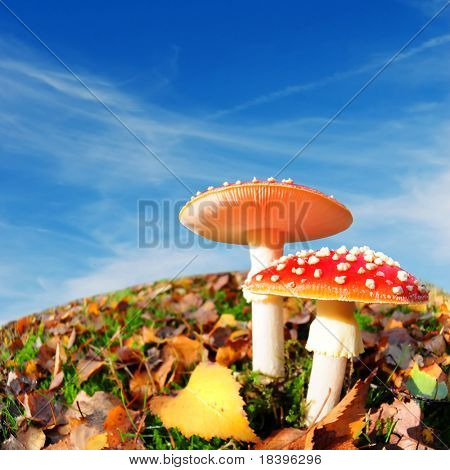 ultimate autumn background with red mushrooms and square blue sky
