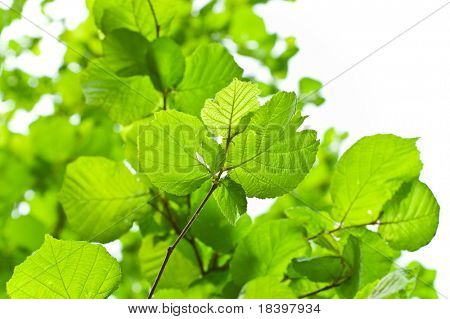 hazel branches