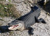 stock photo of alligators  - A ten foot alligator suns himself along a creek in Everglades National Park in Florida - JPG