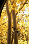 Beautiful Fall Colors Of Aspen Trees