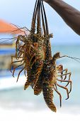 stock photo of crawdads  - Freshly caught lobsters ready for lunch - JPG