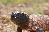foto of gila monster  - The gila monster is a protected species in Arizona - JPG