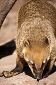 picture of coatimundi  - photo of a captive Coati of the South American jungle - JPG
