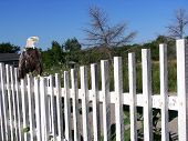 stock photo of male pattern baldness  - Bald Eagle perched on an old whitewashed country fence - JPG
