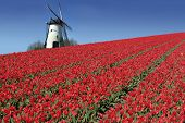 stock photo of tourist-spot  - dutch mill behind a field full of red tulips - JPG