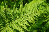 fresh green fern leafs in the forest