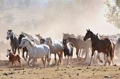 Australian stock horses on a cattle farm cantering in paddock with dusty background