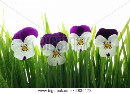 Viola Tricolor In Green Grass