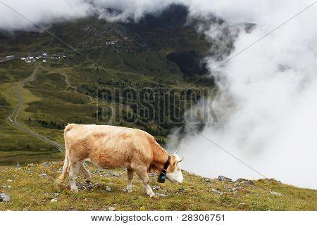 Cow feeding under Eiger Peak, Switzerland