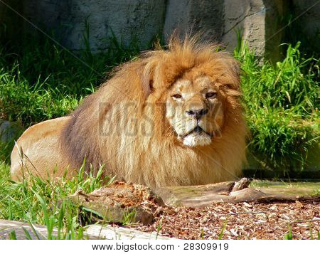 Male Lion Resting In The Sun