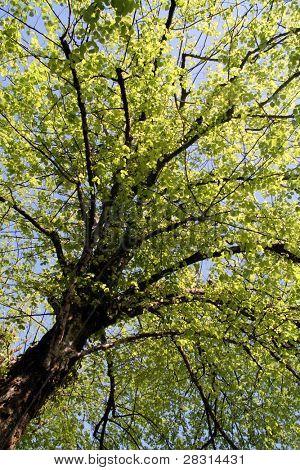 árbol de primavera