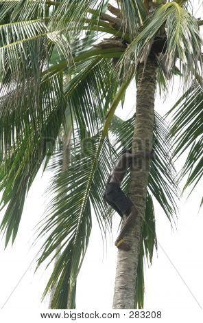 Climbing A Palm