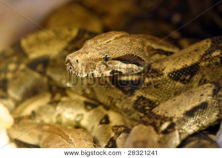 Boa constrictor snake, nature animal photo