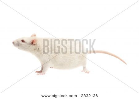 White Rat On White Background