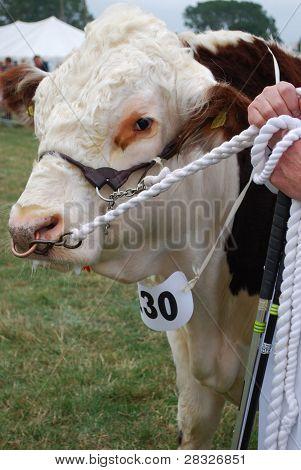 Prize Hereford Bull