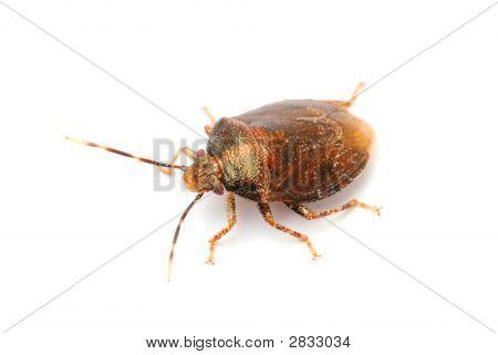 Hemiptera Bug