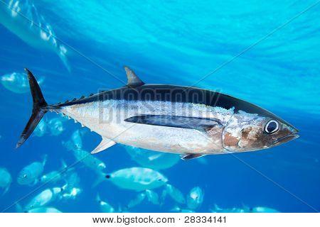 Peixes de atum voador Thunnus Alalunga oceano subaquático [Foto-ilustração]