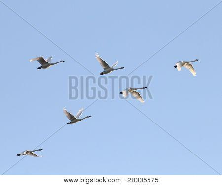 Cisnes de la tundra en el crepúsculo
