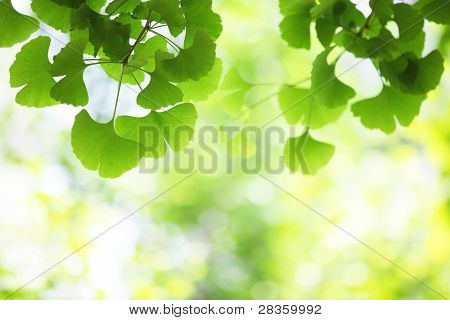 ginkgo leaves, shallow focus.