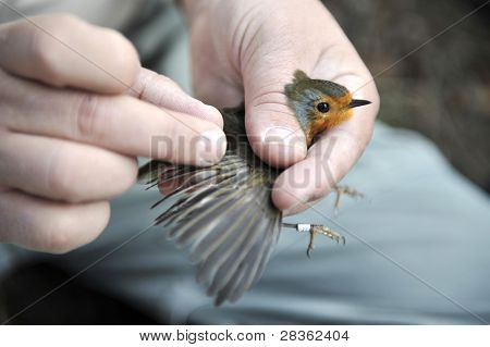 Scientific bird ringing of a robin by an ornithologist