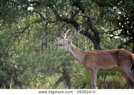 Young wild deer roaring in spanish dehesa