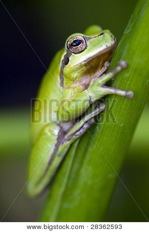 European tree frog climbing a plant