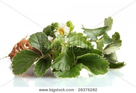 Strawberry bush with root  isolated on white