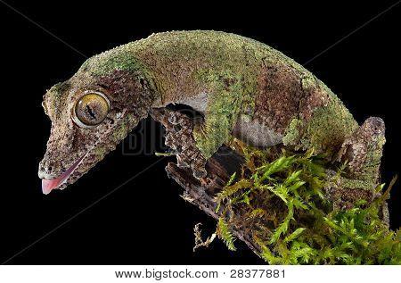 Mossy Gecko On Branch